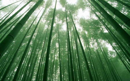 Chinese-Bamboo-Forest