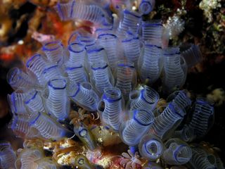 Sea squirts Bluebell